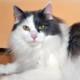 Применение препарата «КОТЭРВИН®» в терапии и профилактике мочекаменной болезни кошек