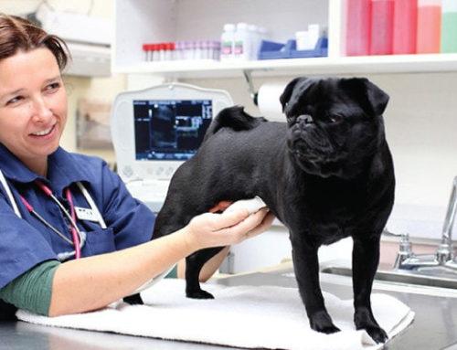 Онкозаболевания у животных: сопровождение в лечении и профилактика рецидивов